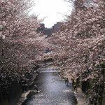 目黒川の桜 2007 #6