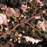 目黒川の桜 2007 #7