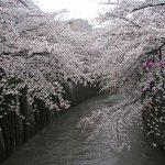 目黒川の桜 2007 #8
