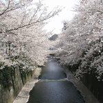 目黒川の桜 2007 #10