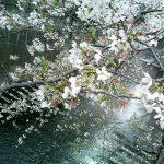 目黒川の桜 2007 #11