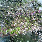 目黒川の桜 2007 #12