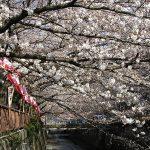 目黒川の桜 2008 #4