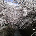 目黒川の桜 2008 #5