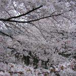 目黒川の桜 2008 #6