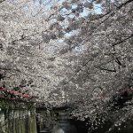 目黒川の桜 2008 #7