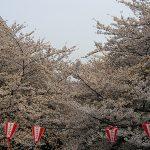 目黒川の桜 2008 #8