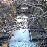 目黒川の桜 2009 #1