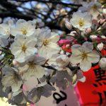 目黒川の桜 2009 #9