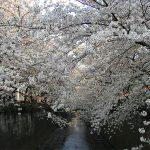 目黒川の桜 2009 #12