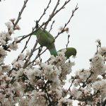 目黒川の桜 2010 #2