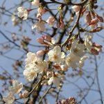 目黒川の桜 2010 #4