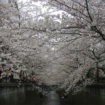 目黒川の桜 2010 #7
