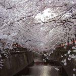 目黒川の桜 2010 #8