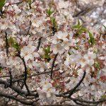 目黒川の桜 2010 #9