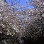 目黒川の桜 2010 #10