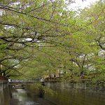 目黒川の桜 2010 #13