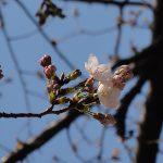 目黒川の桜 2011 #2
