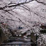 目黒川の桜 2011 #5