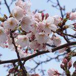 目黒川の桜 2012 #2