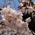 目黒川の桜 2012 #3