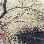 目黒川の桜 2012 #4