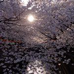 目黒川の桜 2012 #7