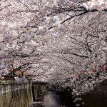 目黒川の桜 2012 #8