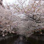 目黒川の桜 2012 #10