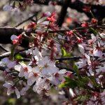 目黒川の桜 2012 #11