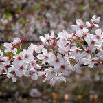 目黒川の桜 2012 #12