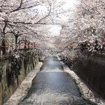 目黒川の桜 2012 #5