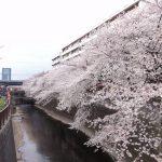 目黒川の桜 2012 #6