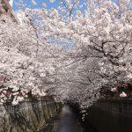 目黒川の桜 2012 #14