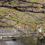 目黒川の桜 2012 #13