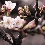 目黒川の桜 2013 #01:開花