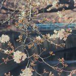 目黒川の桜 2013 #02:今年は早い