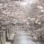 目黒川の桜 2013 #03:三分咲き