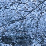 目黒川の桜 2013 #05:満開!