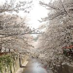 目黒川の桜 2013 #09:桜、散りはじめ