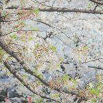 目黒川の桜 2013 #10:桜、散ってます