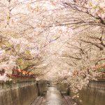 目黒川の桜 2013 #12:花冷え