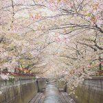 目黒川の桜 2013 #13:曇り空の中
