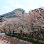 目黒川の桜 2013 #14:久々の晴れ