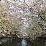 目黒川の桜 2013 #15:爆弾低気圧