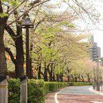目黒川の桜 2013 #17:あと少し