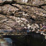 目黒川の桜 2014 #05:四分咲き