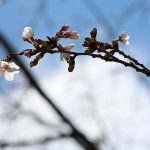 目黒川の桜 2014 #01:咲いた!