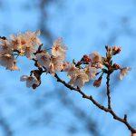目黒川の桜 2014 #03:東京開花宣言!