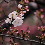 目黒川の桜 2014 #04:花起こしの雨